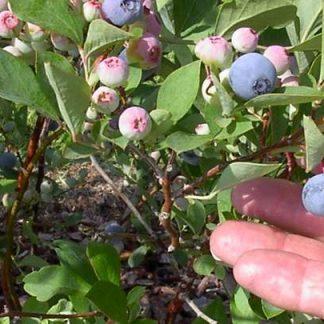 Blueberry 'Premier'-0