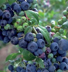 Blueberry 'Premier'-1219