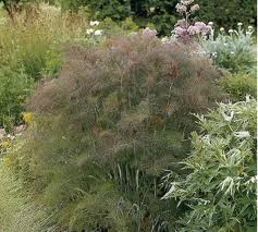 Bronze Fennel-0