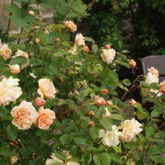 Rose 'Buff Beauty'-0