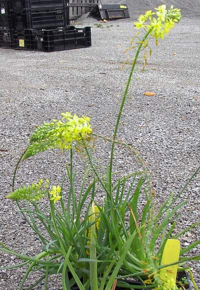 Bulbine Lily 'Yellow'-0