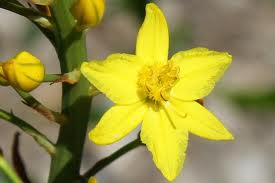 Bulbine Lily 'Yellow'-1457