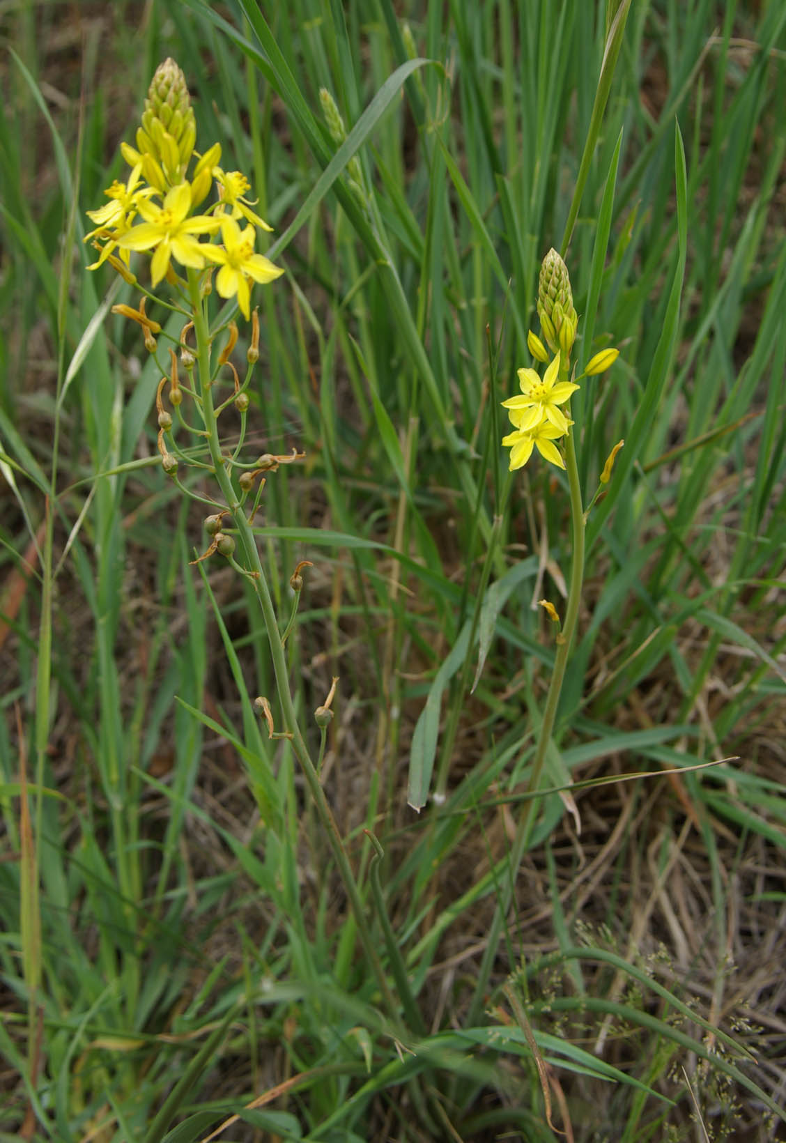 Bulbine Lily 'Yellow'-1458
