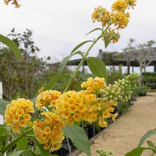 "Butterfly Bush 'Yellow""-0"