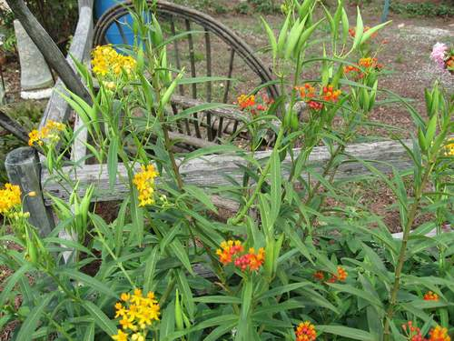 Butterfly Weed-1706