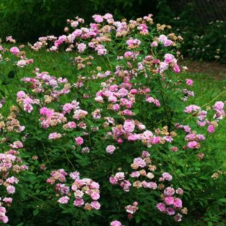 Rose 'Caldwell Pink'-0