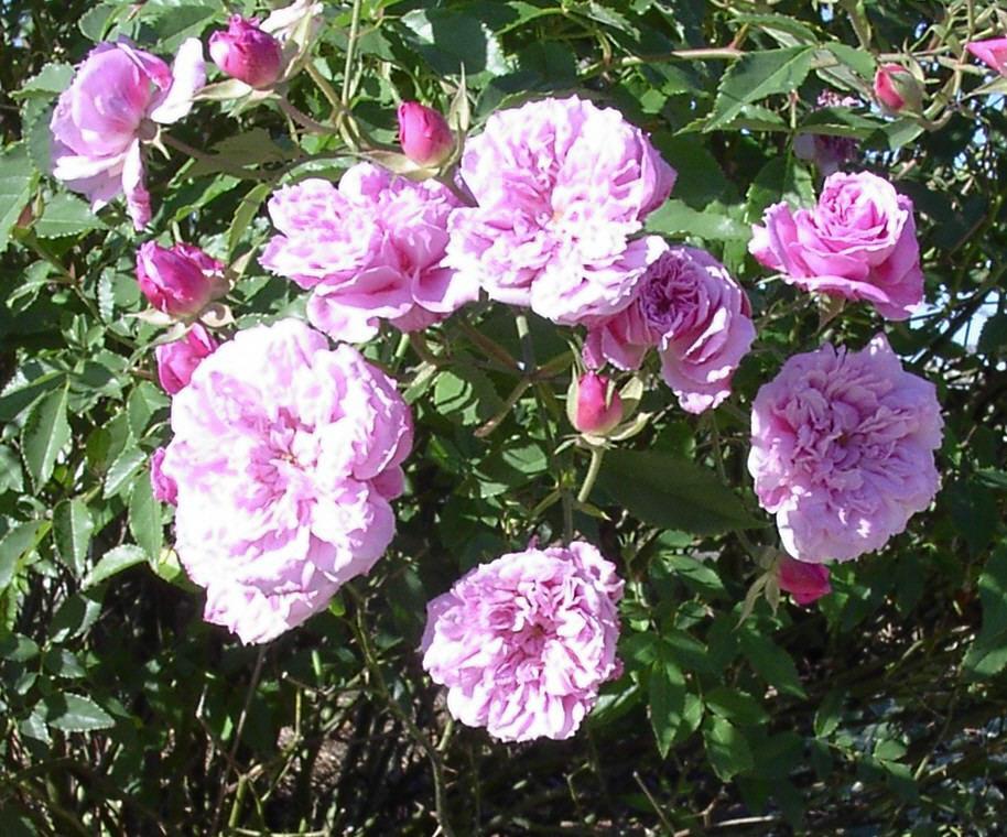 Rose 'Caldwell Pink'-876