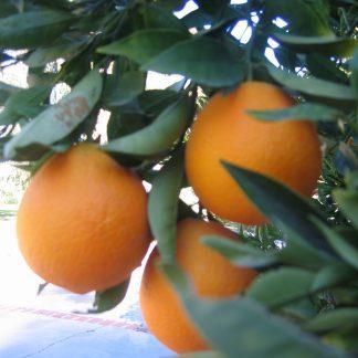 Pink Navel Orange 'Cara Cara'-0