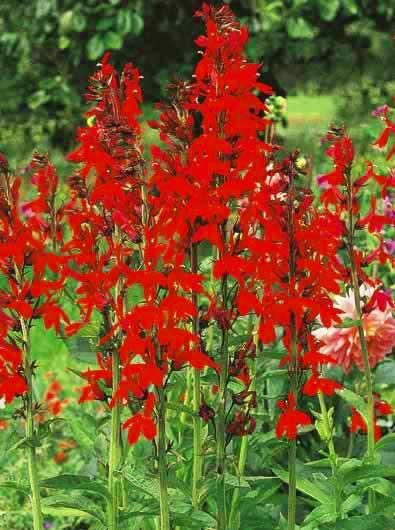 Cardinal Flower-0