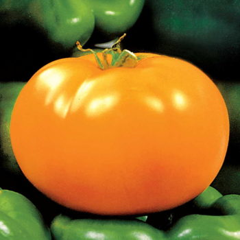Tomato 'Carolina Gold'-0