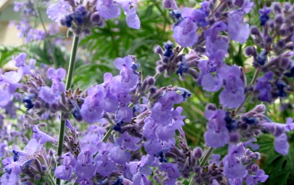 "Catmint 'Six Hills Giant' 3.5"" container-462"