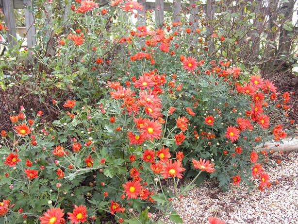 "Chrysanthemum ""Cathy's Rust""-0"