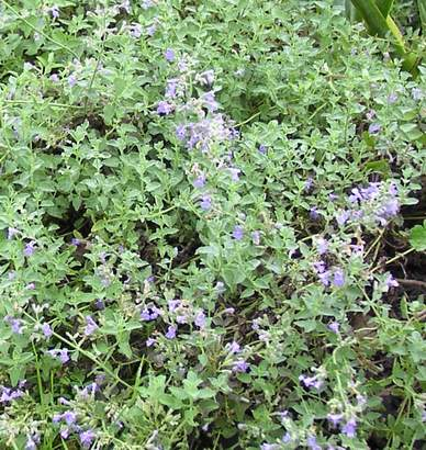 "Catmint 'Six Hills Giant' 3.5"" container-461"