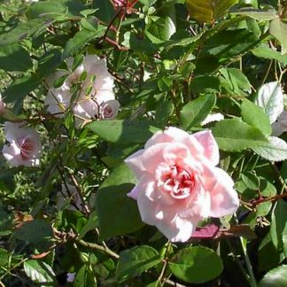 Rose 'Cecile Brunner Shrub'-0