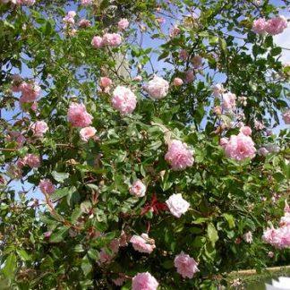 Rose 'Cecile Brunner Climbing'-0
