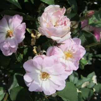Rose 'Champney's Pink Cluster'-0