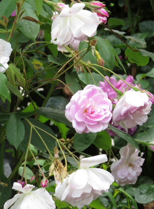 Rose 'Champney's Pink Cluster'-860