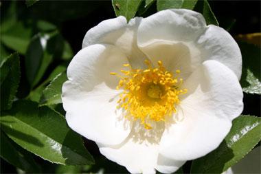 Rose 'Cherokee Rose'-925