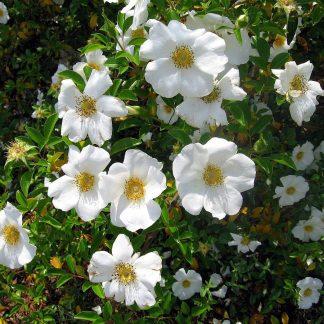 Rose 'Cherokee Rose'-0