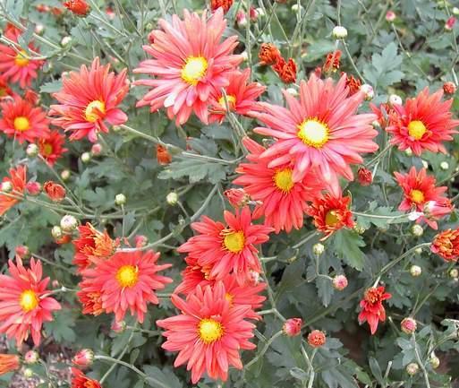 "Chrysanthemum ""Cathy's Rust""-25"
