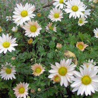 Chrysanthemum 'Cream'-0