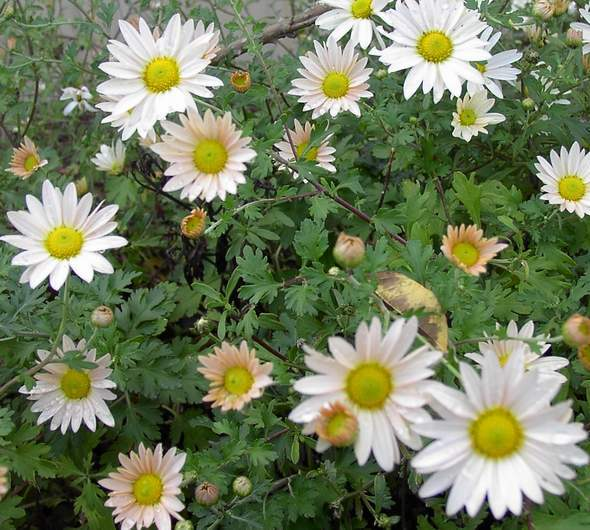 Chrysanthemum 'Cream'-0