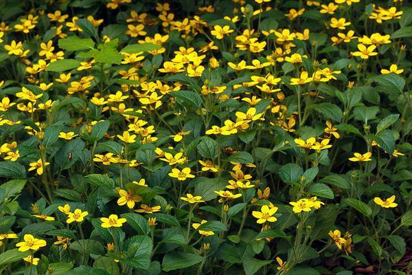 Chrysogonum virginianum-1637