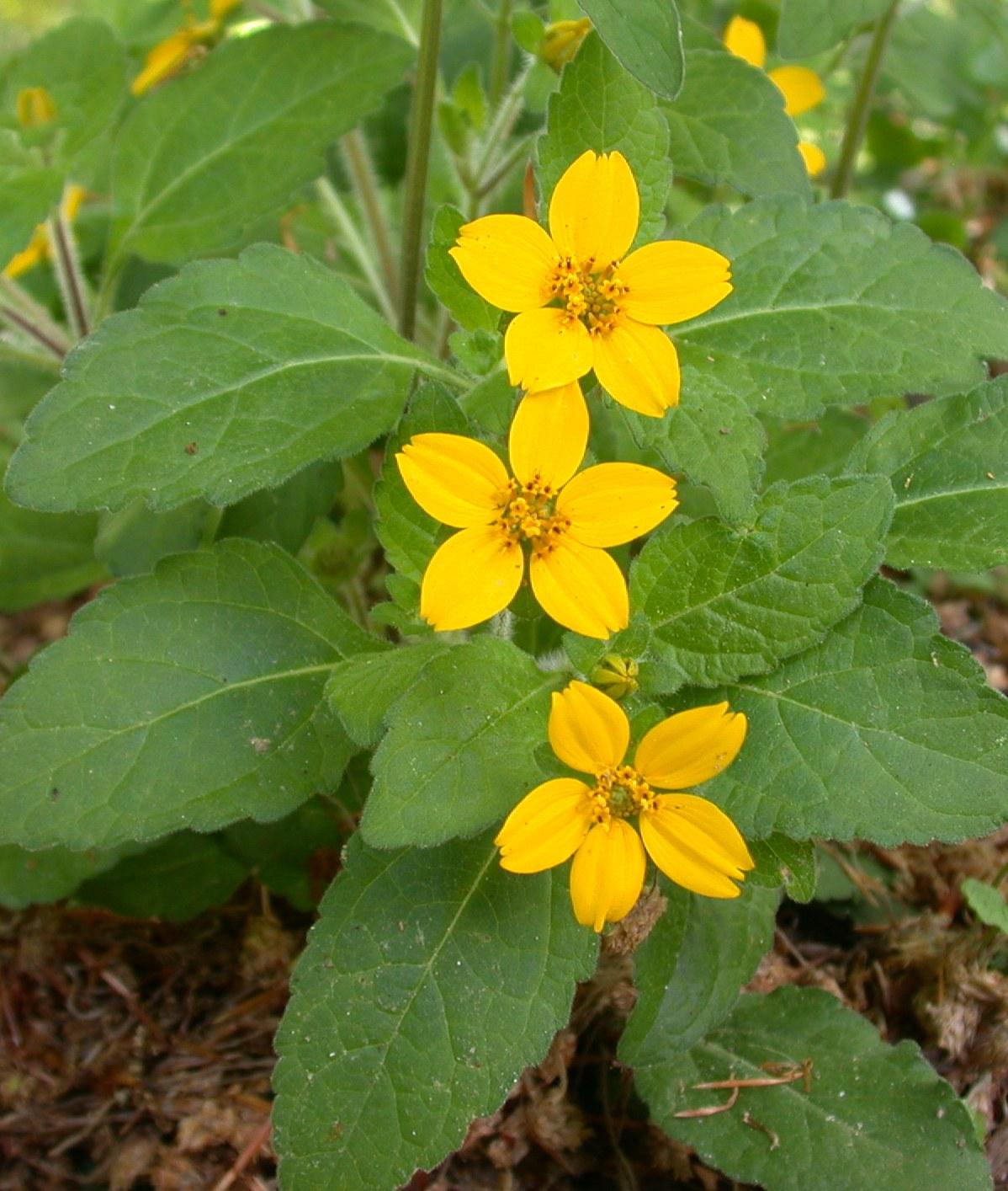 Chrysogonum virginianum-0