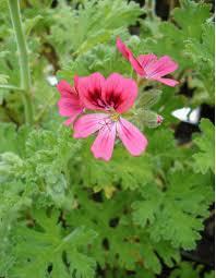 Scented Geranium 'Citrosa'-0