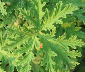Scented Geranium 'Citrosa'-735