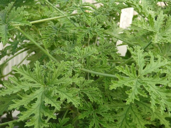Scented Geranium 'Citrosa'-736