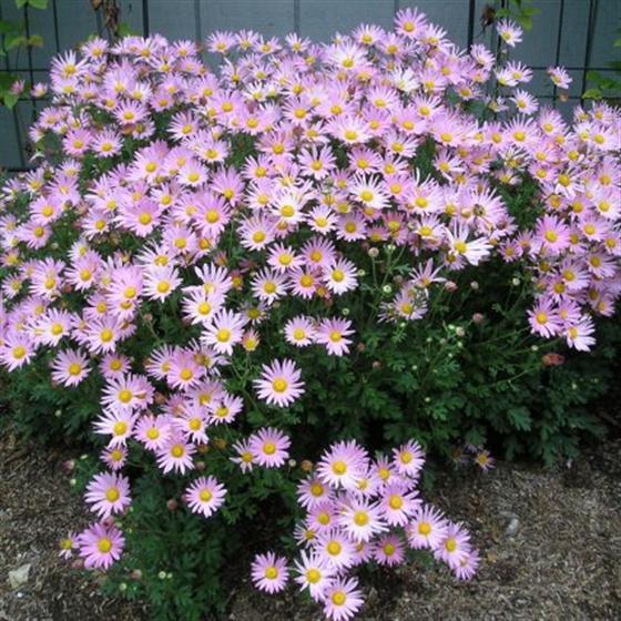 Chrysanthemun 'Clara Curtis'-0