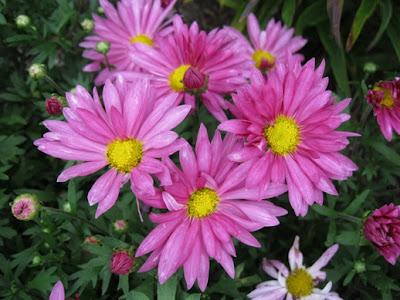 Chrysanthemun 'Clara Curtis'-29