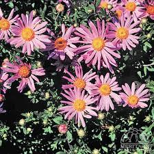 Chrysanthemun 'Clara Curtis'-27