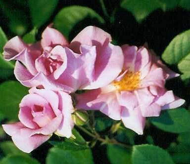 Rose 'Climbing Pinkie'-883