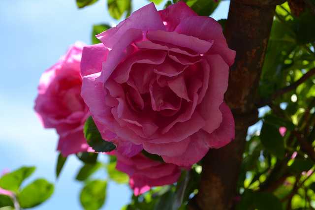 "Rose "" American Beauty' Climber-921"