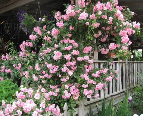 Rose 'Climbing Pinkie'-884
