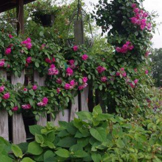 Rose 'Climbing Pinkie'-0