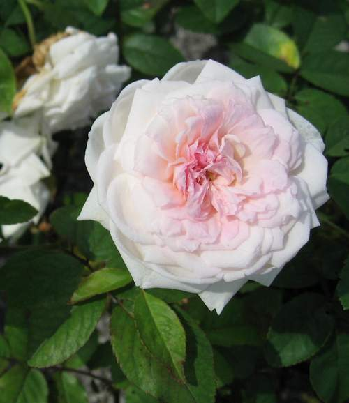 Rose 'Clothitlde Soupert'-0