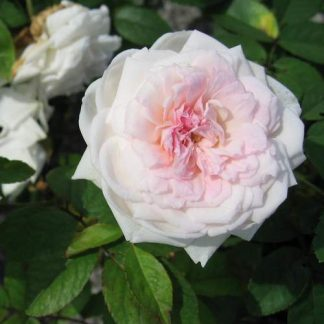 Rose 'Clotilde Soupert climber'-0