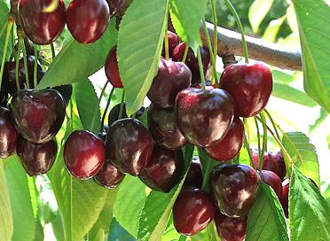 Cherry 'Compact Stella'-0