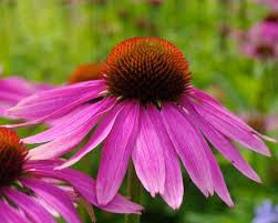 Echinacea purpurea-0