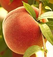 Peach 'Contender'-0