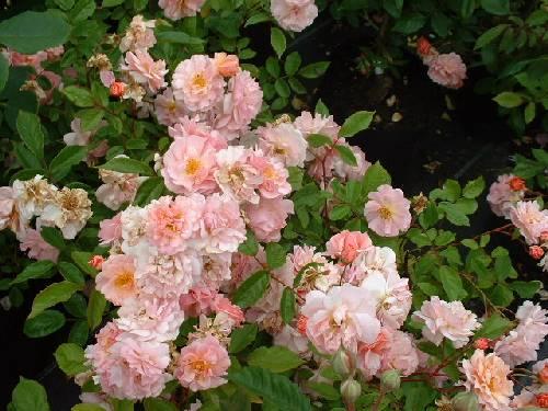 Rose 'Cornelia'-816