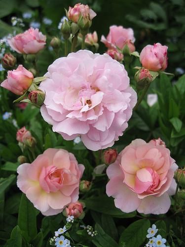 Rose 'Cornelia'-0