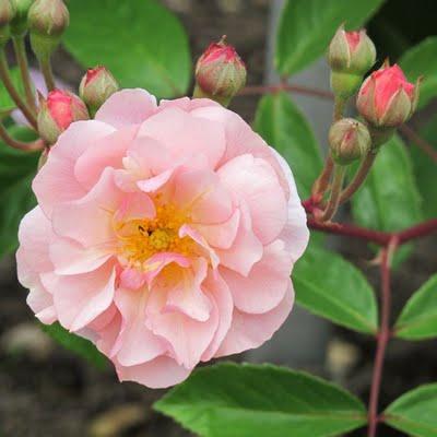 Rose 'Cornelia'-817