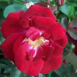 Rose 'Cramoisi Superieur'-0