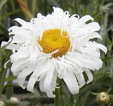Shasta Daisy 'Crazy Daisy'-0