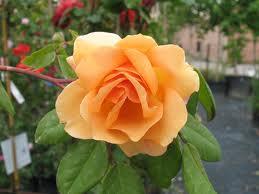 Rose 'Crepuscule'-862