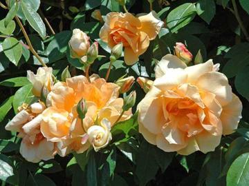 Rose 'Crepuscule'-0